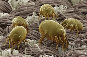dust-mite-500-time