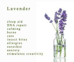 lavender-front
